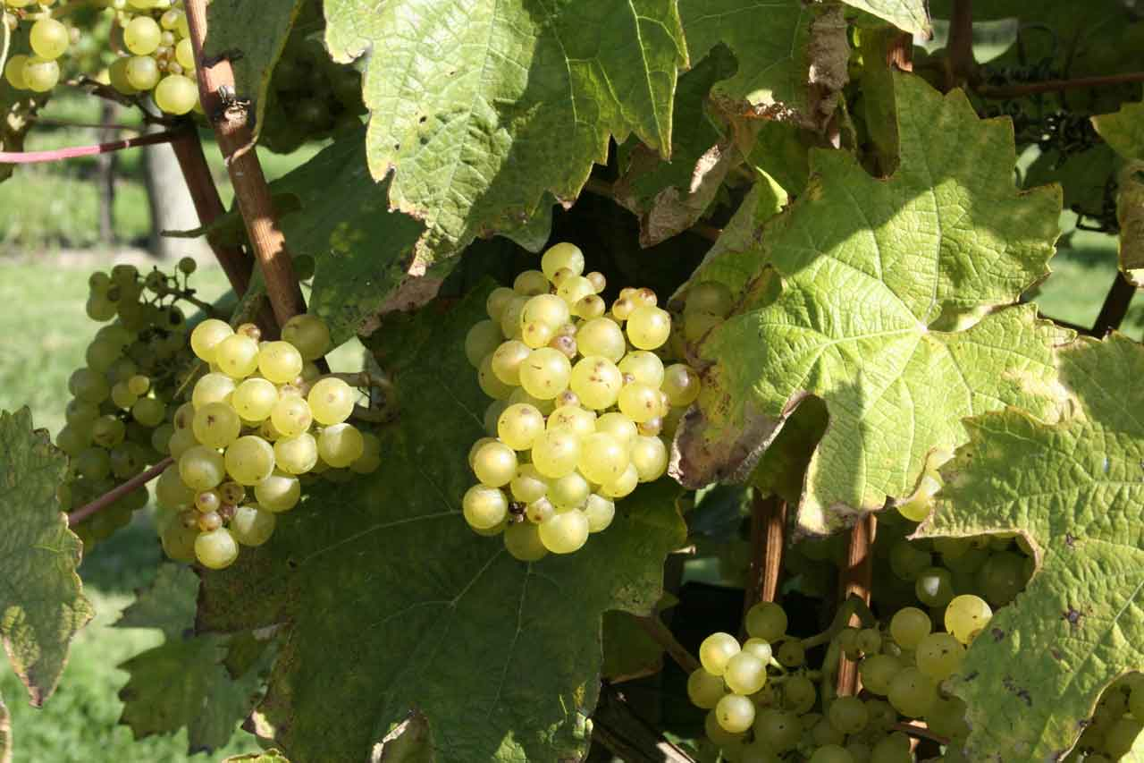 the production of grapes and wine in cool climates pdf